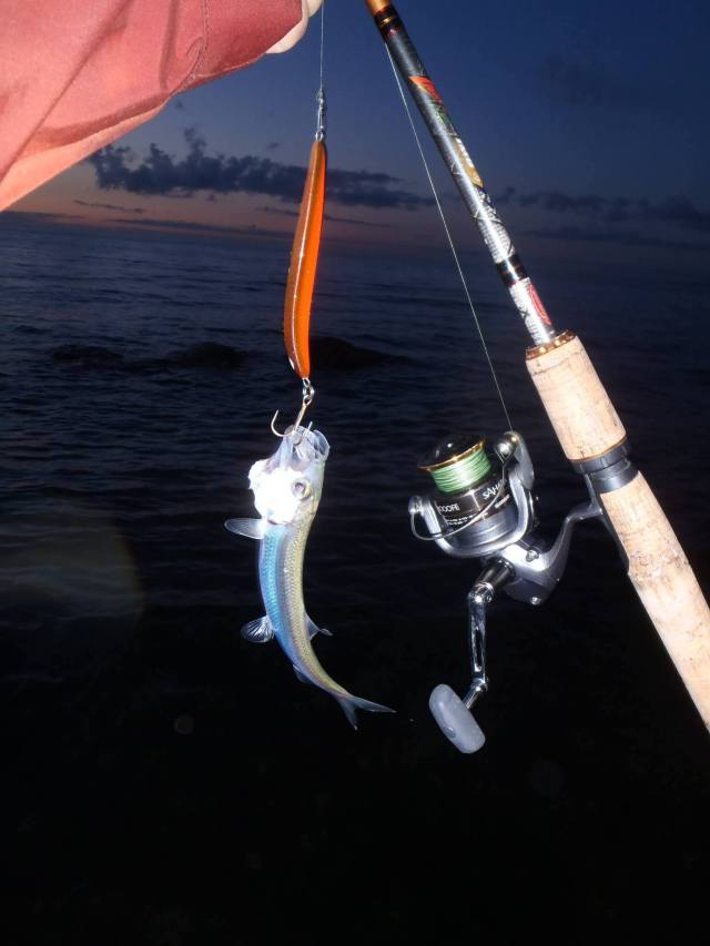 Mikon pikkukala gotlannissa